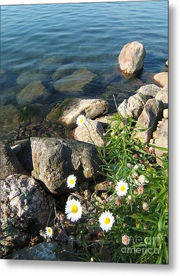 Daisies By The River Metal Print by Margaret McDermott