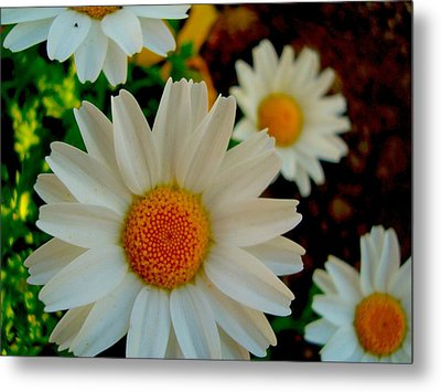 Metal Print featuring the photograph Daisy 1 by Tamara Bettencourt