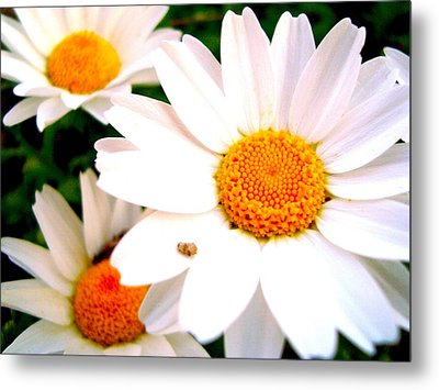 Metal Print featuring the photograph Daisy 2 by Tamara Bettencourt