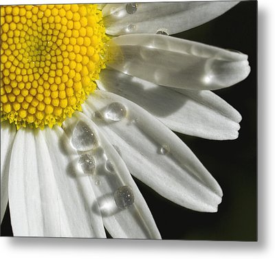 Daisy With Raindrops Metal Print by Rob Graham