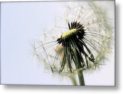 Dandelion Puff Metal Print by Tracy Male