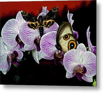 Death Heads Moth Meets Silky Owl Butterfly On Orchid Flower Metal Print by Leslie Crotty