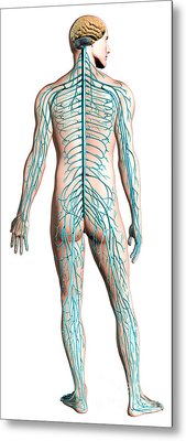 Diagram Of Human Nervous System Metal Print by Leonello Calvetti