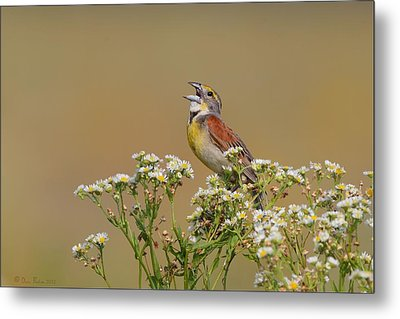 Metal Print featuring the photograph Dickcissel On Wild Daisies by Daniel Behm