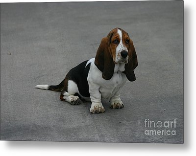 Dixie Big Paws Long Ears Metal Print by D Wallace