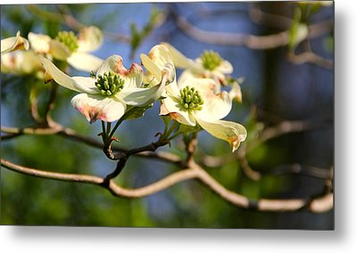 Dogwood Metal Print by Tracy Male