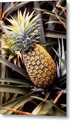 Dole Pineapple Plantation, Oahu, Hawaii Metal Print by Ned Haines