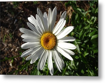Double Down Daisy Metal Print