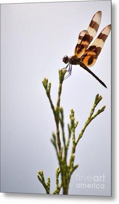 Dragonfly Lands Metal Print by Affini Woodley