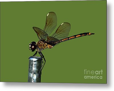 Metal Print featuring the photograph Dragonfly by Meg Rousher