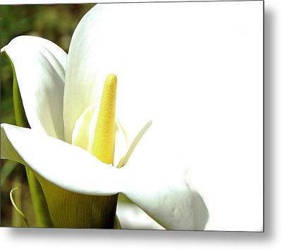 Easter Lily Metal Print by Pamela Patch