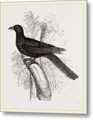 Eastern Black Cuckoo Metal Print by Litz Collection