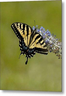 Eastern Tiger Swallowtail On Butterfly Bush Metal Print by Lara Ellis