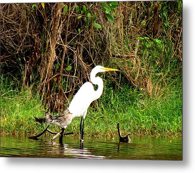 Egret And Ducks Metal Print by Will Boutin Photos
