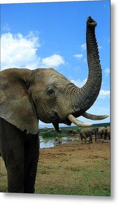 Elephant Posing Metal Print