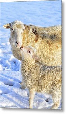 Ewe And Winter Lamb Metal Print by Thomas R Fletcher