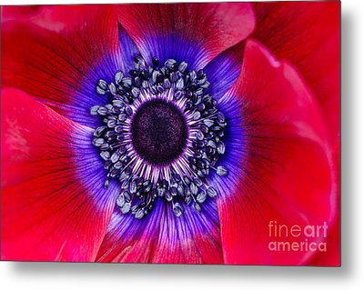 Extreme Macro Of A Red Anemone Poppy Metal Print by Oscar Gutierrez