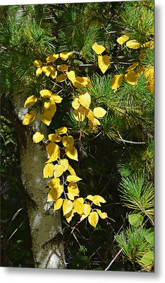 Metal Print featuring the photograph Fall Birch by Judy  Johnson