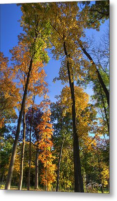 Falling Up The Maples Metal Print