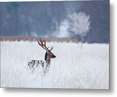 Fallow Deer In The Frozen Winter Landscape Metal Print by Allan Wallberg