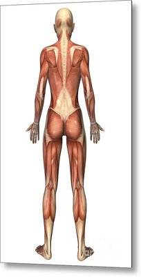 Female Muscular System, Back View Metal Print by Stocktrek Images