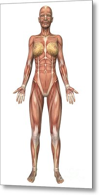 Female Muscular System, Front View Metal Print by Stocktrek Images