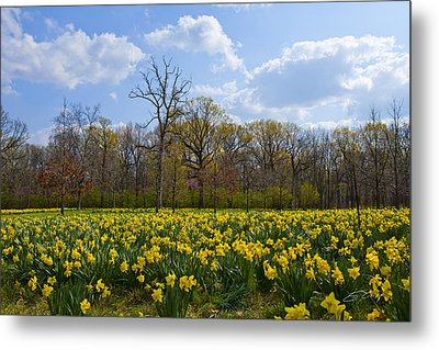 Field Of Daffodils At The Morton Arboretum Metal Print