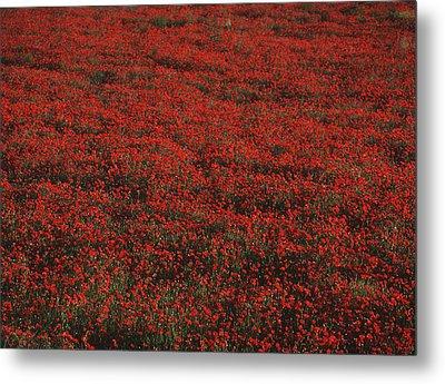 Field Of Red Poppies Metal Print by Ian Cumming