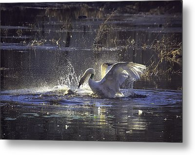 Fighting Swans Boxley Mill Pond Metal Print by Michael Dougherty