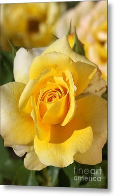 Flower-yellow Rose-delight Metal Print