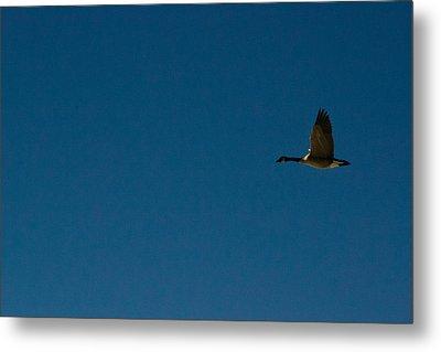 Flying Goose Metal Print by Matt Radcliffe