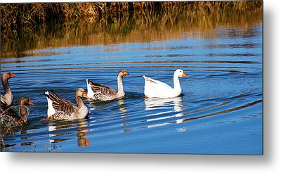 Metal Print featuring the photograph Follow The Leader 2 by Linda Segerson