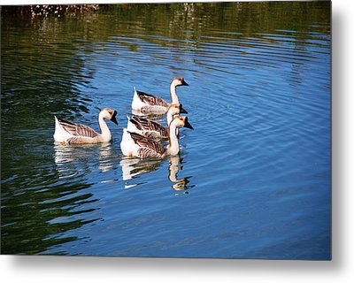 Metal Print featuring the photograph Four Geese A Swimming by Linda Segerson