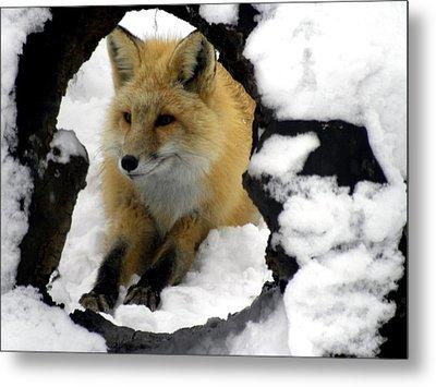 Foxy View Metal Print by Teresa Schomig