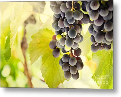 Fresh Ripe Grapes Metal Print by Mythja  Photography