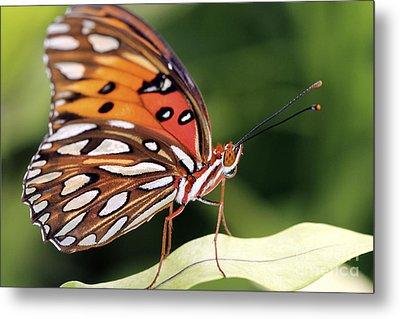 Fritillary Butterfly Metal Print by Pamela Gail Torres