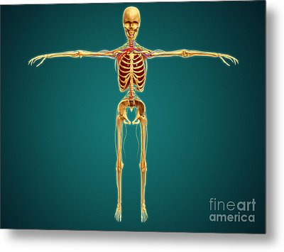 Front View Of Human Skeleton Metal Print by Stocktrek Images