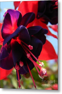 Fuchsia In Full Bloom Metal Print