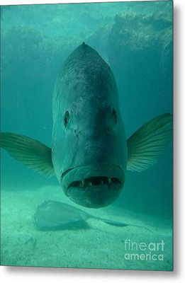 Funny Fish Face Metal Print by Amy Cicconi