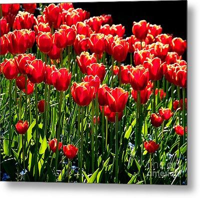 Gardenful Of Red Tulips Metal Print
