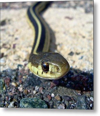 Garter Snake Metal Print by Kent Lorentzen