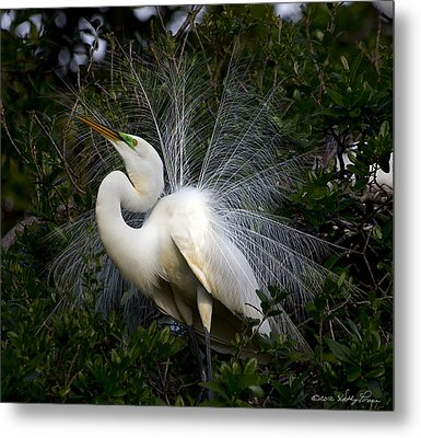 Geat Egret Mating Dance II Metal Print by Kathy Ponce
