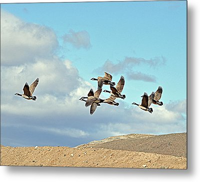 Metal Print featuring the photograph Geese In Flight by Lula Adams