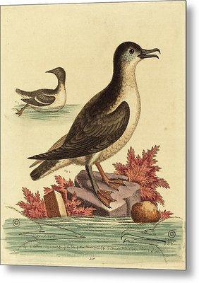 George Edwards English, 1694 - 1773, The Guillemot Metal Print