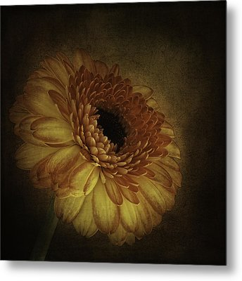 Gerbera Metal Print by Cyndy Doty