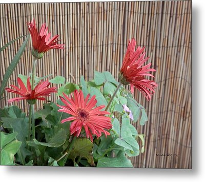 Gerbera Glory Metal Print by Belinda Lee
