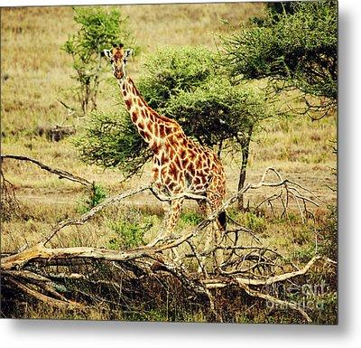 Giraffe On African Savanna Metal Print by Michal Bednarek