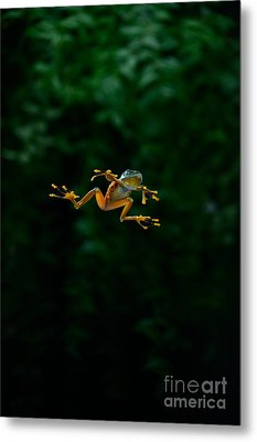 Gliding Frog In Flights Metal Print