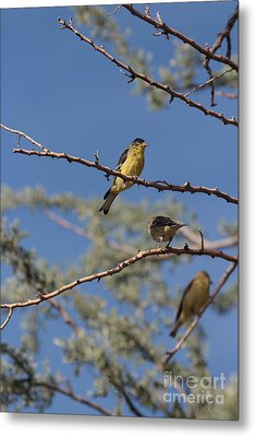 Gold Finches I Have Your Back Metal Print by Crush Creations