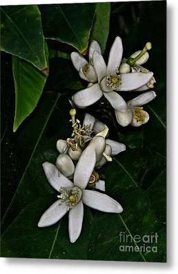 Metal Print featuring the photograph Grapefruit Blossoms by Ruth Jolly
